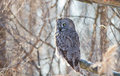 Lapland owl in winter Stock Image