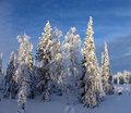 Lapland snow covered trees in at the end of the polar winter Stock Photos
