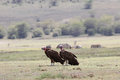 Lappet-faced Vulture - Aegypius tracheliotus Royalty Free Stock Photo