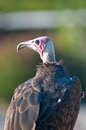 Lappet faced Vulture or Nubian Vulture tracheliotus torgos Royalty Free Stock Photo