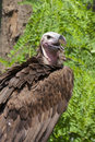 Lappet faced vulture torgos tracheliotos Royalty Free Stock Image
