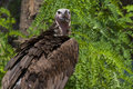 Lappet faced vulture torgos tracheliotos Royalty Free Stock Photography