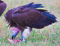 Lappet faced vulture torgos tracheliotus south africa Royalty Free Stock Photo