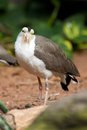 Lapwing australian standing on the ground and looking straight ahead Royalty Free Stock Photography