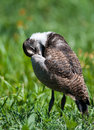 Lapwing chick beak under wing Stock Photos