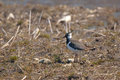 Lapwing on a field standing the in spring Stock Photos
