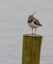 Lapwing on stake Stock Photos