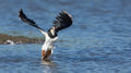 A lapwing is taking off Stock Image