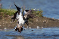 A lapwing is taking off Royalty Free Stock Photography