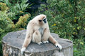 Lar-Gibbon Stockfoto