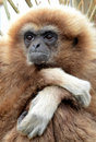 Lar Gibbon Royalty Free Stock Photo