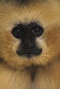 Lar gibbon the detail of Royalty Free Stock Images