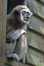 Lar gibbon the hylobates Royalty Free Stock Image