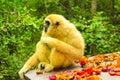 White Handed Lar Gibbon
