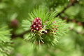 Larch bloom in spring day close up Stock Image