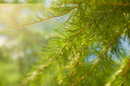 Larch branch close up. Vibrant green color. Royalty Free Stock Photo