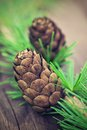 Larch cone with needles of tree Stock Image