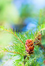 The larch cone on the tree Stock Photography