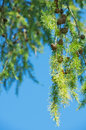 Larch with cones branches on the sky background Stock Image