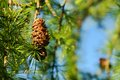Larch cones and needles on branch Royalty Free Stock Images
