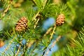 Larch cones Royalty Free Stock Photo