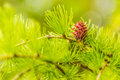Larch flower. Royalty Free Stock Photo