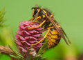 Larch flower and wasp small yellow black beware sting Royalty Free Stock Image
