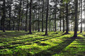 Larch forest with sunlight and shadows Royalty Free Stock Photography