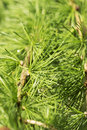 Larch green fresh close up Royalty Free Stock Images
