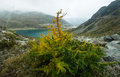 Larch partly yellowed in the rocky soil of the mountain slopes Stock Photos