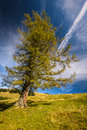 Larch single tree in yellow autumn color in sunny day Royalty Free Stock Images