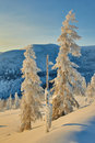 Larch in snow in mountains. Winter. A decline. Evening. Kolyma Royalty Free Stock Photo