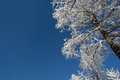 Larch in snow siberia russia Royalty Free Stock Images