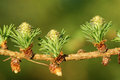Larch strobili ovulate cones and pollen cones of tree in spring beginning of may Stock Photos