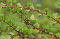 Larch tree detail view in the spring time Stock Photos