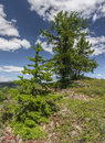 Larch tree in the ural mountains republic of bashkortostan russia Royalty Free Stock Photos