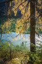 Larch tree yellow colored needles on a in october with water lake in background Royalty Free Stock Photo
