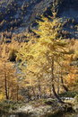 Larch trees on hillside Royalty Free Stock Photo