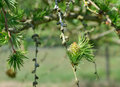 Larch trees in woodland showing close up of flower Royalty Free Stock Image