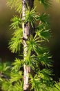Larch trunk of a young with needles Stock Photo
