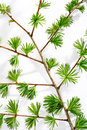 Larch twig details on white background Royalty Free Stock Image