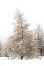 Larch in winter at the park Stock Image