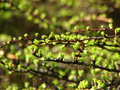Larchs buds spring branches of larch with Stock Photography