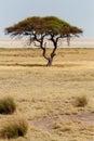 Large acacia tree in the open savanna plains africa typical of east etosha namibia Royalty Free Stock Image
