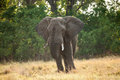 Large african elephant in savanna of botsvana Stock Photography