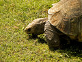 Large african tortoise a close up view of a feeding Royalty Free Stock Photos