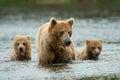 Alaskan brown bear Royalty Free Stock Photo