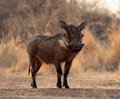 Large Alert Warthogs Male in Clearing Royalty Free Stock Image