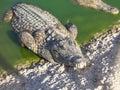 Large American alligator Royalty Free Stock Photo