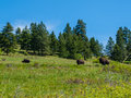 Large american bison at the national range in montana usa Royalty Free Stock Photos
